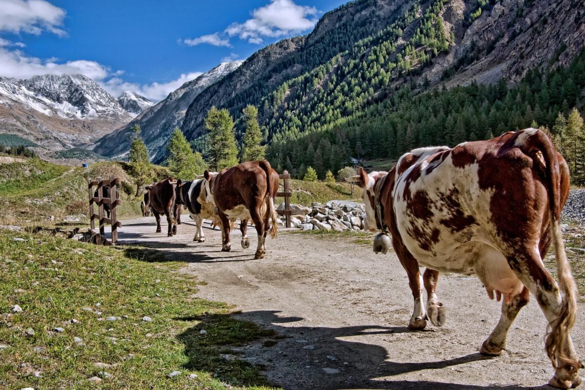 Fontina, the queen of Valle d'Aosta cheeses